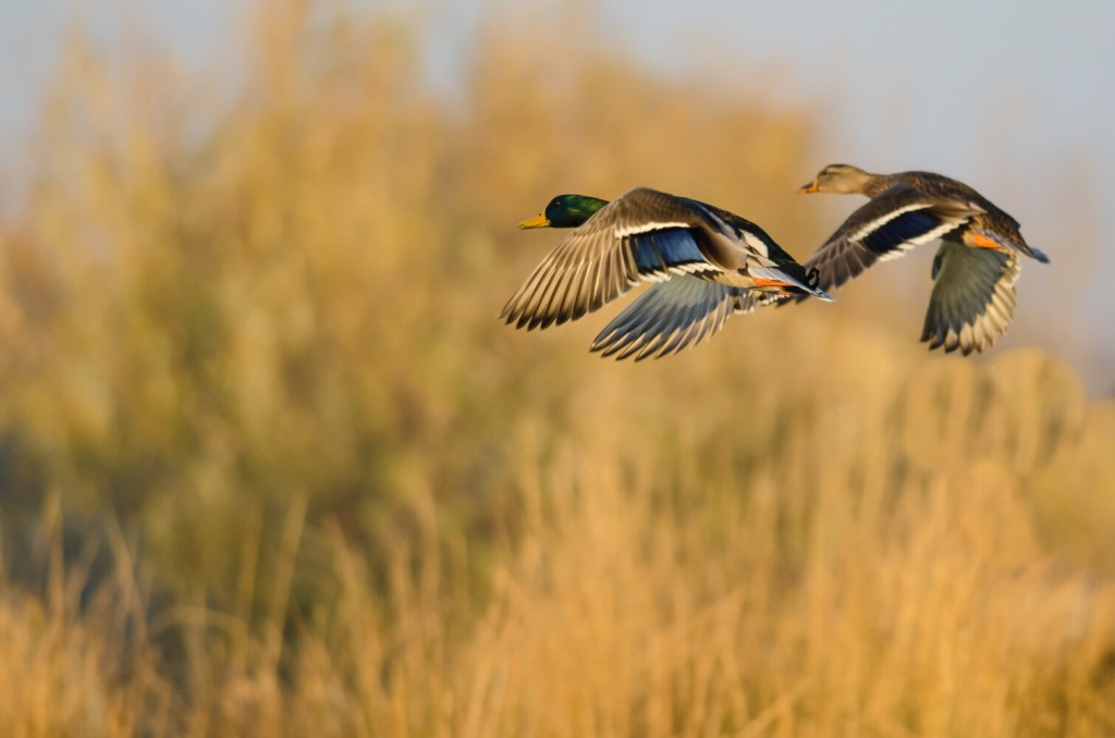Depending on the zone where you hunt, the 2019 duck hunting season is already here – or just days away.