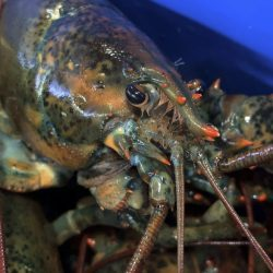 Lobster_Exports-Europe_44551