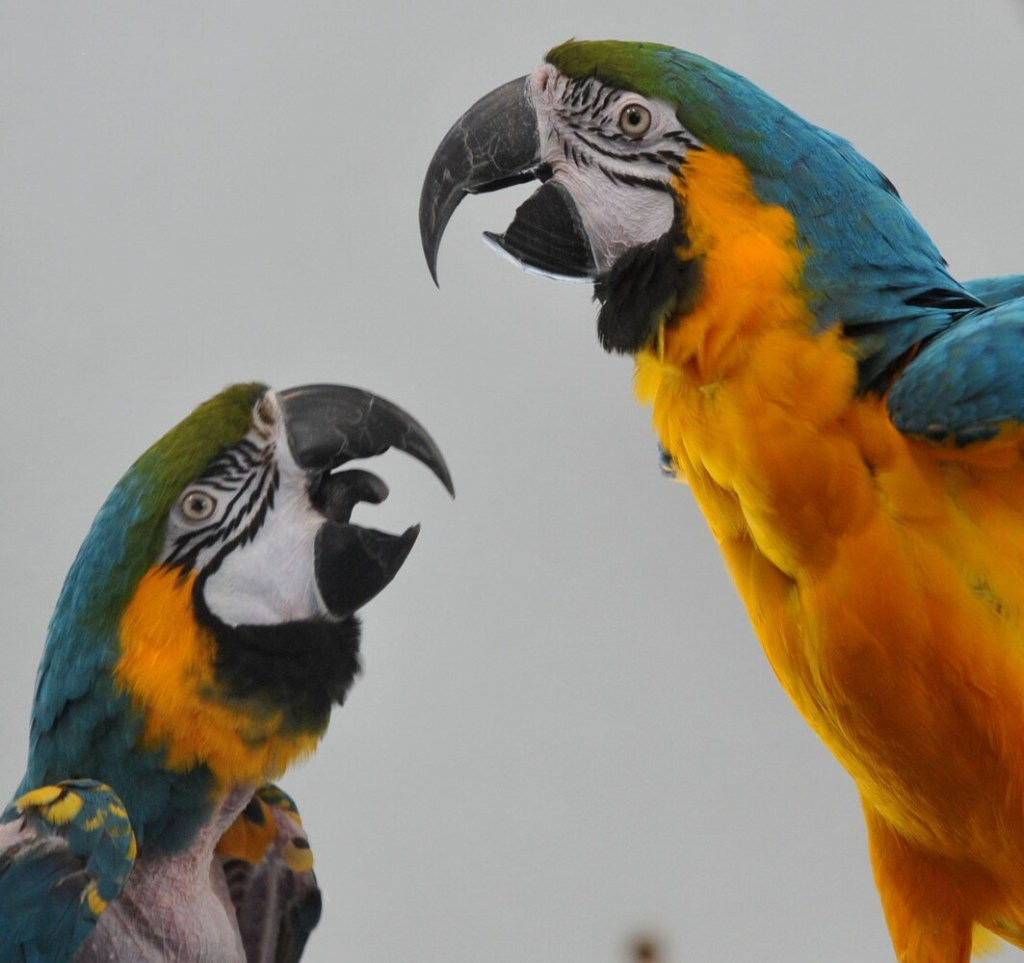 Macaws are shown on Saturday during an open house at the Siesta Sanctuary, Assisted Living for Retired Parrots in Harmony.
