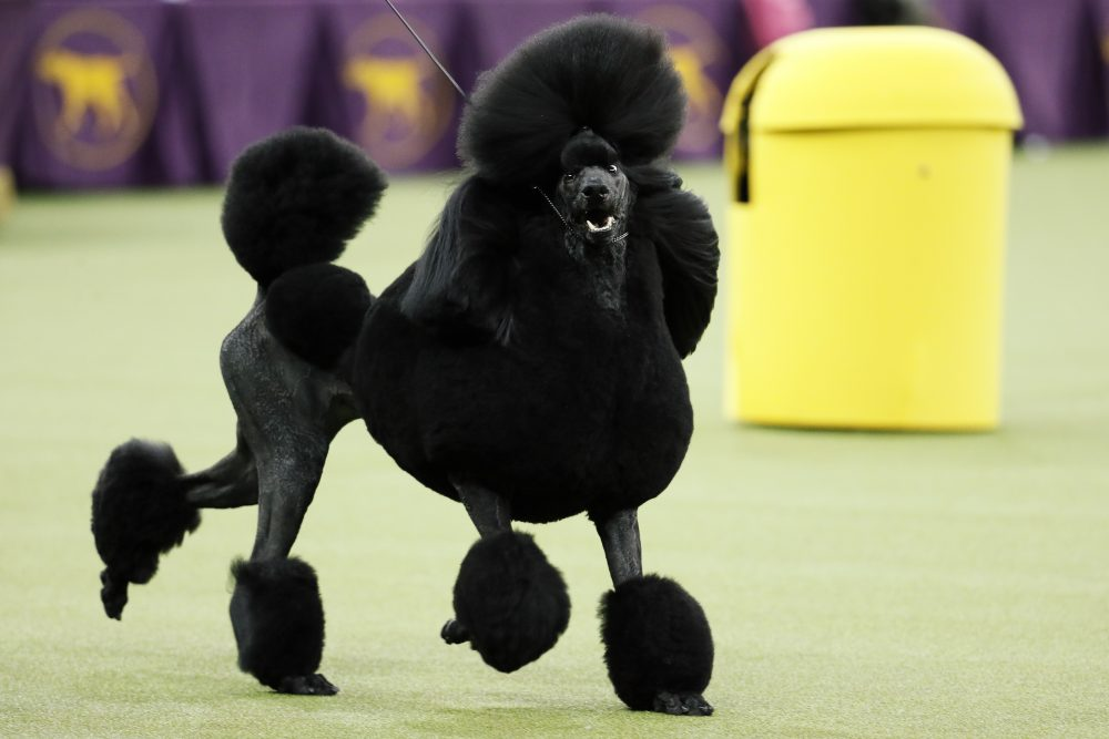 Siba, the standard poodle, competes for Best in Show during the 144th Westminster Kennel Club dog show, Tuesday, Feb. 11.