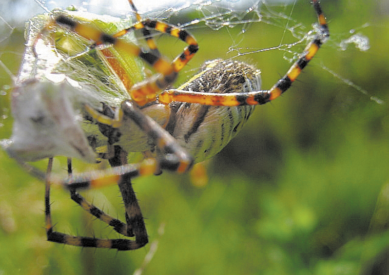 A banded garden spider inspects its catch.