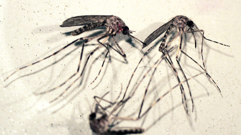 Cattail mosquitoes are seen in a petri dish. Cattail mosquitoes can transmit eastern equine encephalitis to humans.