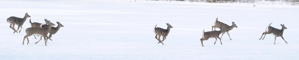 WHITE TAILS: A herd of whitetail deer cross a frozen pond in Monmouth.