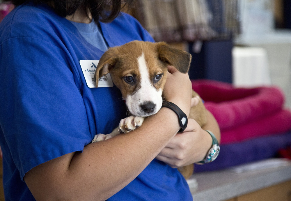 Beyonce was one of the four puppies that went up for adoption Tuesday after their rescue last week from a home in Buxton. Jill Brady/Staff Photographer