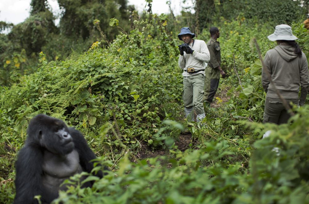 Tourist Stephen Fernandez, center, takes photos Sept. 4 of a male silverback mountain gorilla on the slopes of Mount Bisoke in Rwanda's Volcanoes National Park. The population of the endangered subspecies is estimated to be just 900.