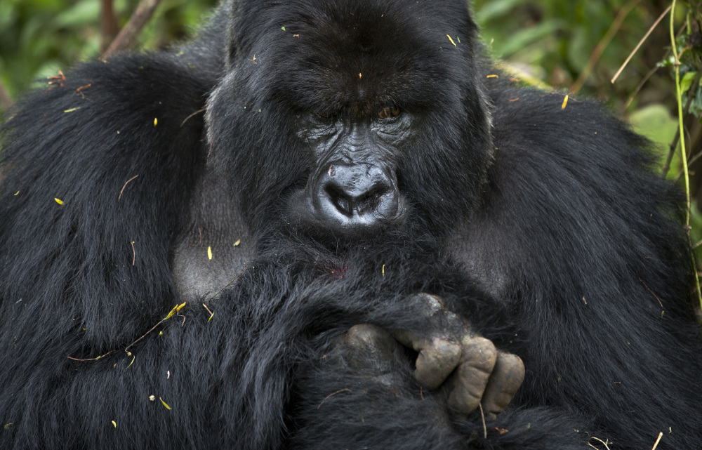 """This male silverback gorilla belongs to the the family of mountain gorillas named Amahoro, which means """"peace"""" in the Rwandan language."""