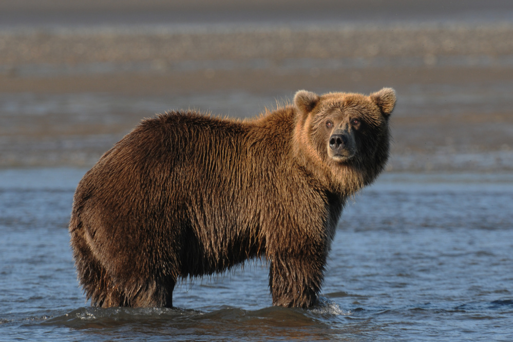 """Gary Westerhoff will present a Narrated Slide Show: """"Grizzlies and Friends"""" at 7 p.m. Friday, Aug. 4 at the RFA Lakeside Theater, 2493 Main St. in Rangeley."""