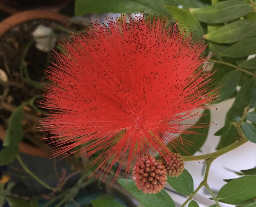 The red puffball plant produces 2-inch bulbous blossoms.