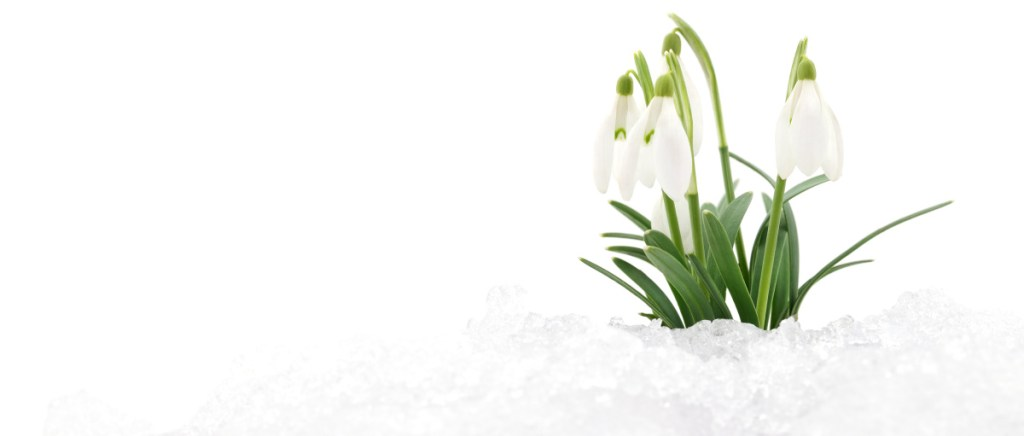 Snowdrops, besides being early risers as far as spring flowers go, multiply and hybridize themselves.