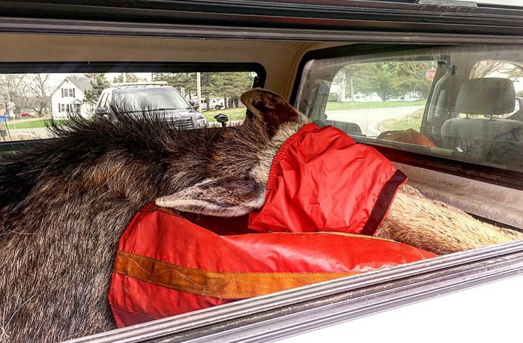 A warden service biologist tranquilized this moose who was wandering near the interstate and was determined to be a public safety hazard. Its eyes were covered with a tarp and it was transported to a safe location.