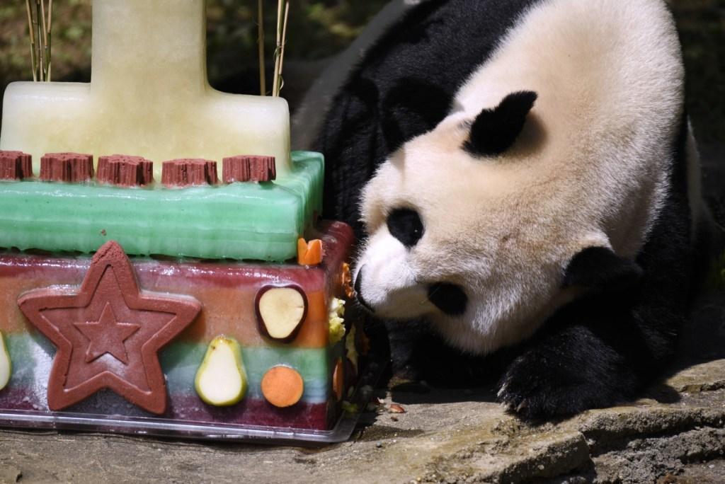 Mei Xiang, mother of giant panda cub Bei Bei, eats Bei Bei's birthday cake at the National Zoo in Washington during a celebration of Bei Bei's first birthday in 2016. Officials closed the panda habitat on Sunday to give Mei Xiang some quiet time because she is exhibiting behaviors consistent with both a pregnancy and false pregnancy.