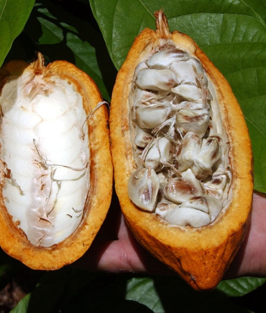 The manufacturing of chocolate begins with beans found inside cocoa pods like these.