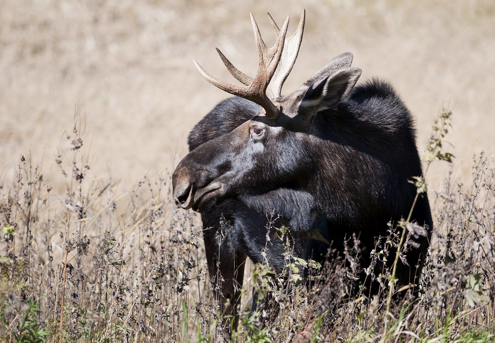 This moose was photographed in Wisconsin in 2016. A Canadian man has been sentenced for importing illegally harvested moose antlers into the United States through Maine.