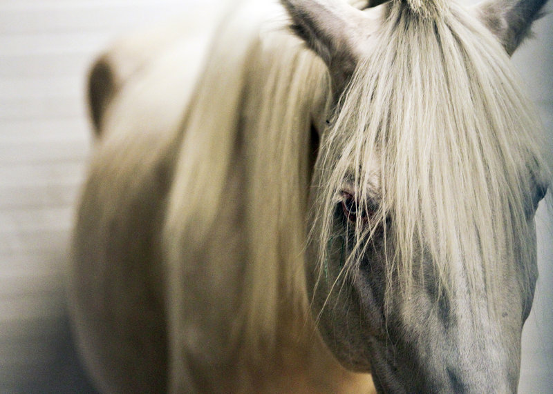 An emaciated horse rests at the University of Minnesota's large-animal hospital in St. Paul. Since 2007, 600 horses have starved to death or been slaughtered in the state.