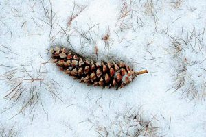 A PINE CONE lays among snow and sprigs of grass in Topsham.
