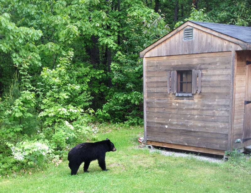 A black bear passes by a shed in the backyard of a home in Kennebunk on May 30. There have been more than 700 bear nuisance calls in Maine so far this year, nearly double the norm.
