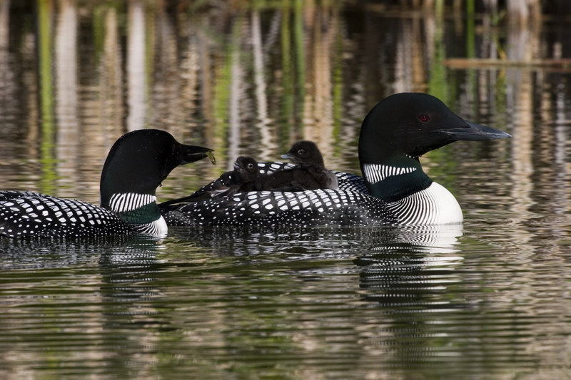 Researchers from the Biodiversity Research Institute in Gorham find that loons with high levels of mercury do not reproduce as successfully as those with low levels or no mercury toxins.
