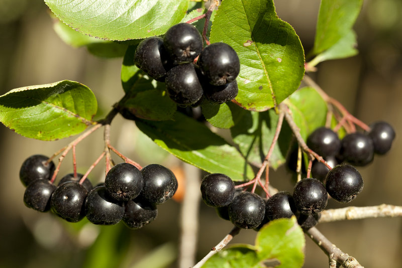 Aronia melanocarpa, or black chokecherries, are less sour than the red and purple.
