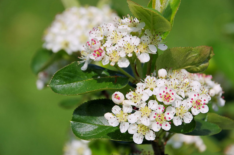 Bumblebees love the flowers of Aronia, which is native to the eastern U.S. Aronia's berries are sour raw, but are good in juices and other processed forms.