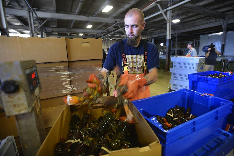 Justin Sylvester packs lobsters at Ready Seafood in Portland in September 2012. The company is now Maine's largest lobster processor and dealer.