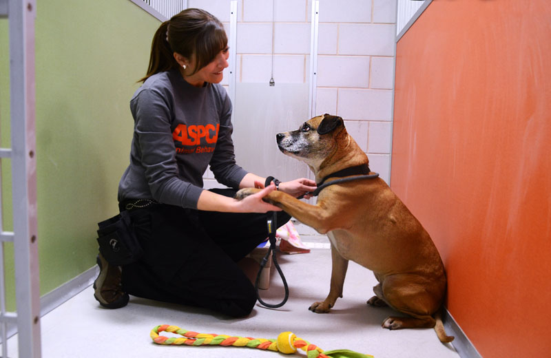"""This undated publicity photo provided by the ASPCA shows Musketeer, a 5-year-old shepherd-pit bull mix, with Pia Silvani, vice president of training and behavior for St. Hubert's, in one of the """"real rooms"""" at the ASPCA Behavioral Rehabilitation Center in Madison, N.J. The rooms simulate a home environment for dogs."""