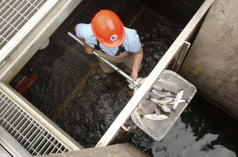 Lee Sochasky keeps a count of alewives at the Milltown Dam fishway in the Canadian province of New Brunswick last month. An effort is under way to overturn a 1995 Maine law, a move that could open fishways at other dams on the St. Croix River between Maine and Canada and expand the fish's reach into a sprawling international watershed. But that effort has its detractors, too.