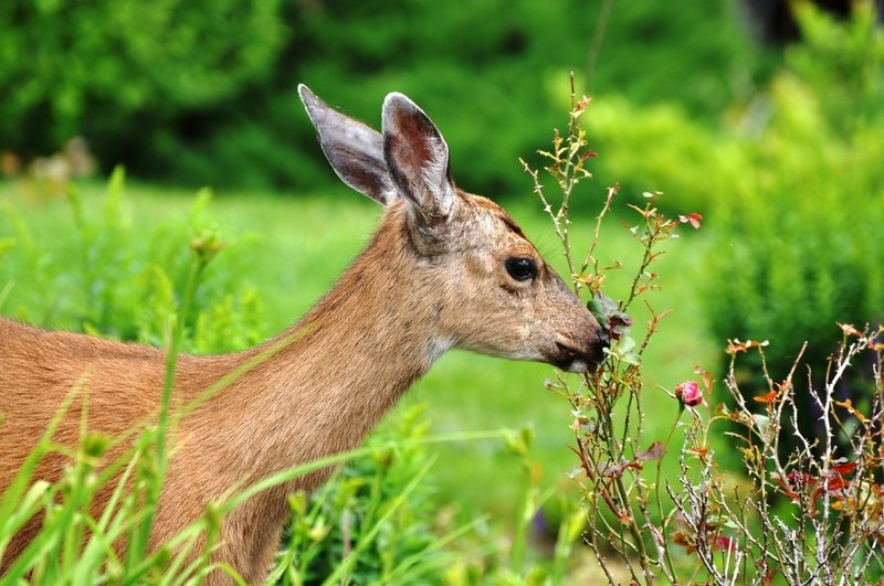 Deer damage can happen any time of year, and takes a toll on vegetable gardens and landscape plants.