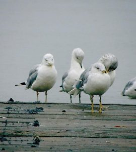 A DISGRUNTLED-LOOKING squadron of herring gulls huddles on the Wharton Point boat ramp in Brunswick during a recent foggy, drizzly day.