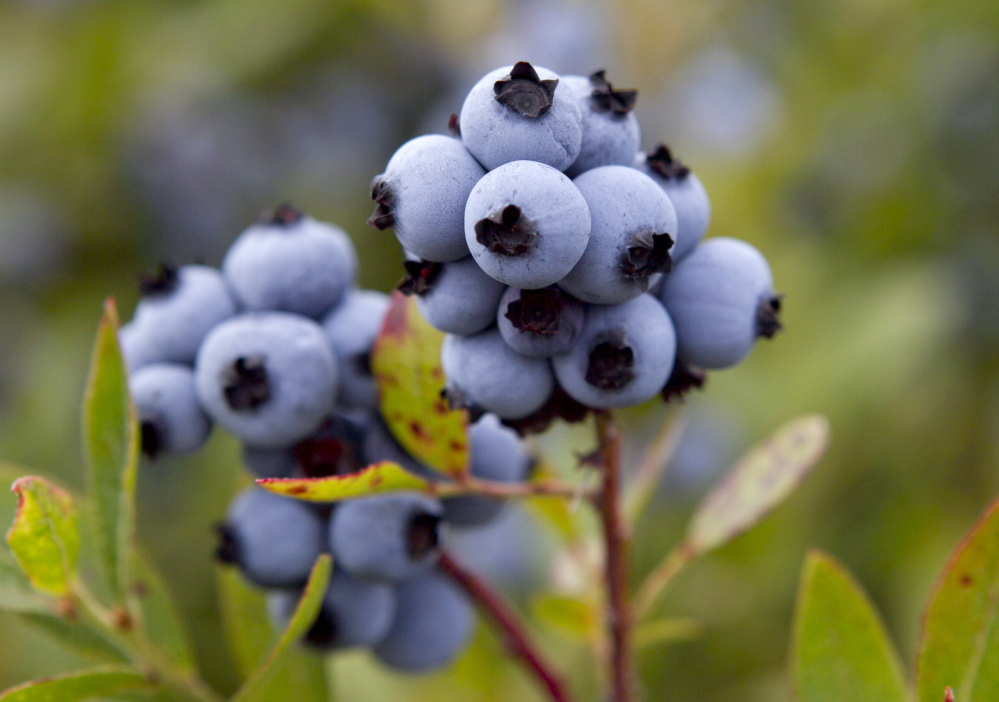 Maine wild blueberries are ready for harvesting at the Dolham Farm in Warren in this file photo. The state's growers would likely benefit from the elimination of trade tariffs.
