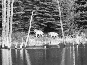 IN THIS FEBRUARY 2012 FILE PHOTO provided by George Desort, two gray wolves walk in the Isle Royale National Park in Michigan. The national park's wolf population has fallen to eight, lowest since the 1950s, and scientists are debating whether to do anything about it.