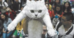 A MAN HOLDS UP his pet cat during a cat show in Wuhan, in central China's Hubei province. In a report released earlier this month by the National Academy of Science, scientists say they've caught cats in the act of going through a key stage in domestication, with the evidence in 5,300-year-old bones from China.