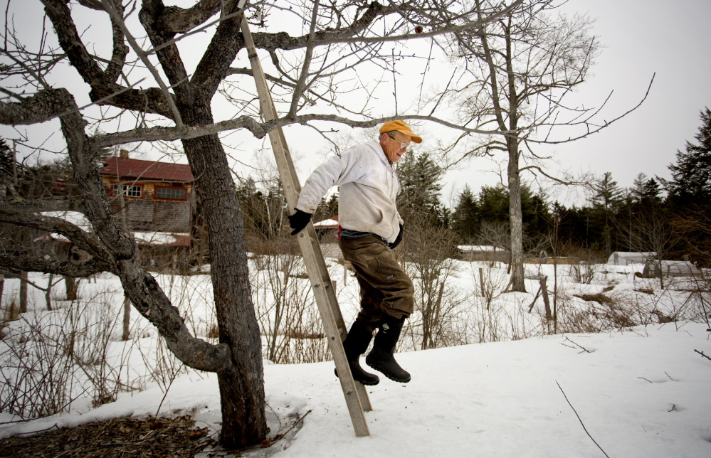 John Bunker climbs down a ladder while pruning trees at his orchard on Super Chilly Farm in Palermo.