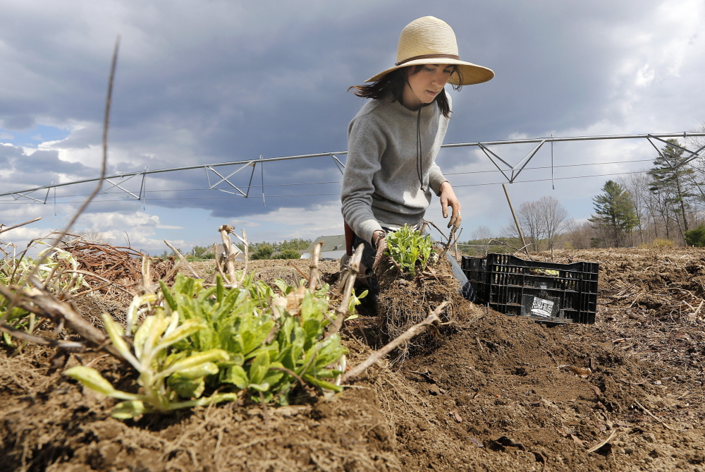 Laura Williams digs up perennials to be transplanted to another field while working at Broadturn Farm in Scarborough on Friday. The organic farm grows crops on 13 acres with two and a half acres dedicated to flowers.