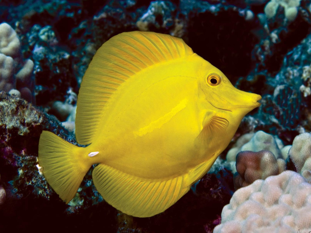 In Hawaii's aquarium trade, a topical fight over tropical