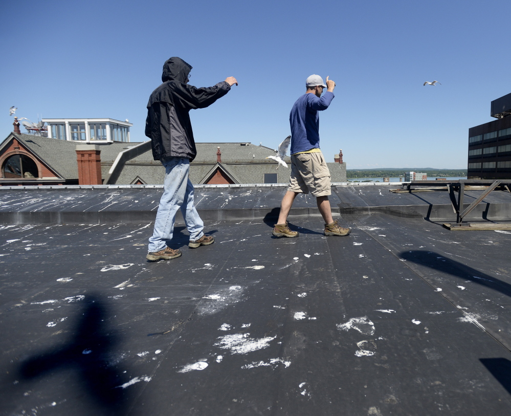 Dr. Noah Perlut, right, a UNE researcher, walks up to a seagull nest on the rooftop of MECA along with UNE student Chris Watt as they study the habits of urban seagulls in Portland.