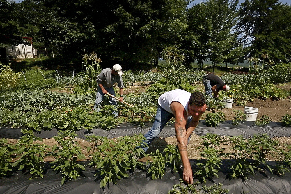 "Carl Littlefield, center, weeds tomato and pepper plants at Angers Farm in West Newfield on July 19. Littlefield says of his farm experience, ""It's one of my biggest gifts that I got, being able to do things for other people. ... I'll never forget this place, ever, in my life."""