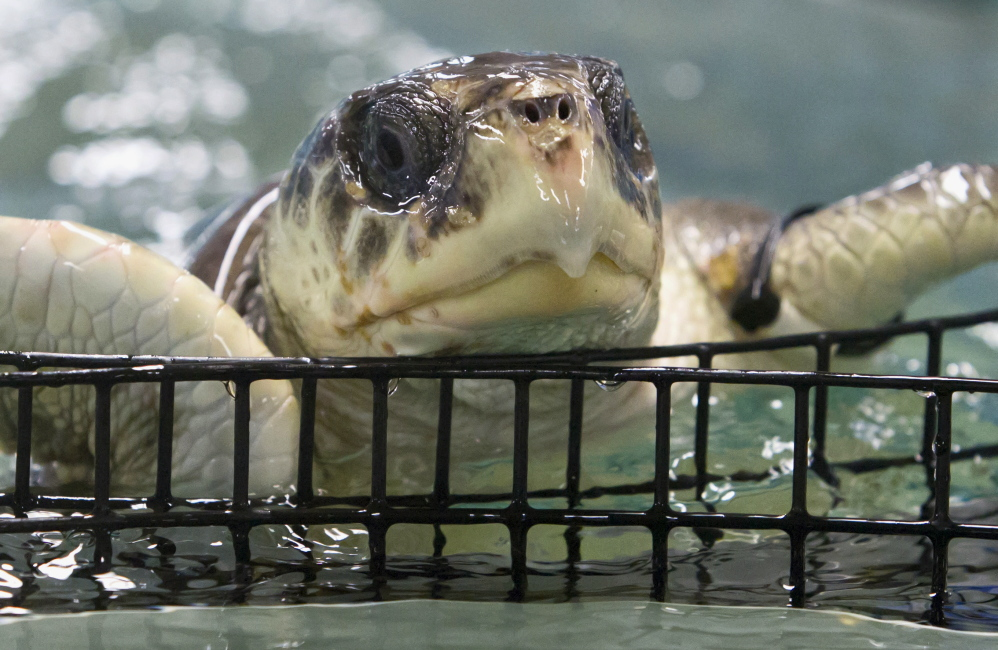 Texas biologists warm chilled New England sea turtles ...