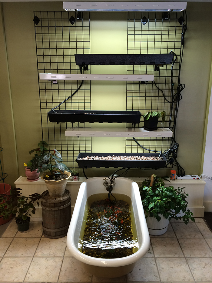 """High Wire Hydroponics' Sean Hegarty says he  liked the vintage claw-foot tub because """"we wanted it to be unique, and we wanted it to be a working hydroponic system to show people at the store how simple it can be."""" Courtesy photo"""