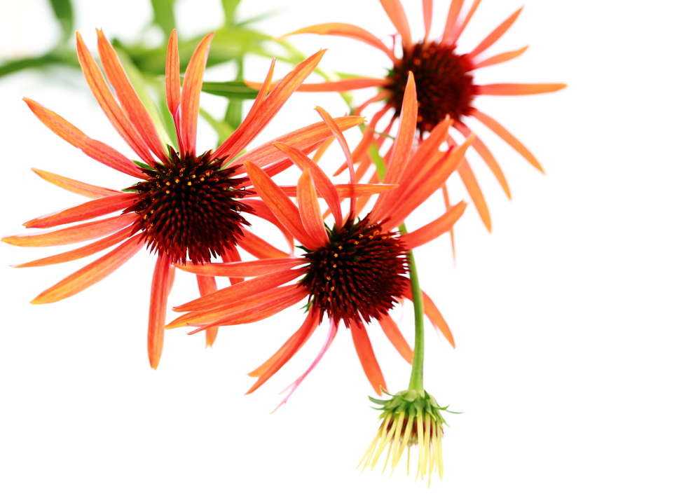 Echinacea is a favorite today of hybridizers, who are coming up with plants in many new colors.
