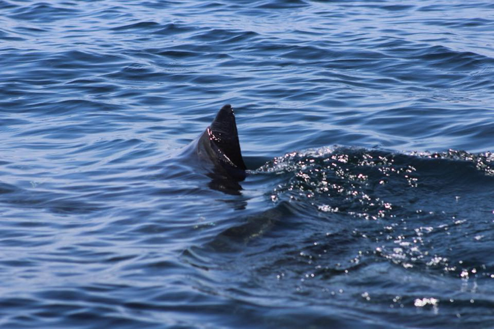 The fin of what is believed to be a great white shark that was spotted Saturday afternoon a mile off Moody Beach.
