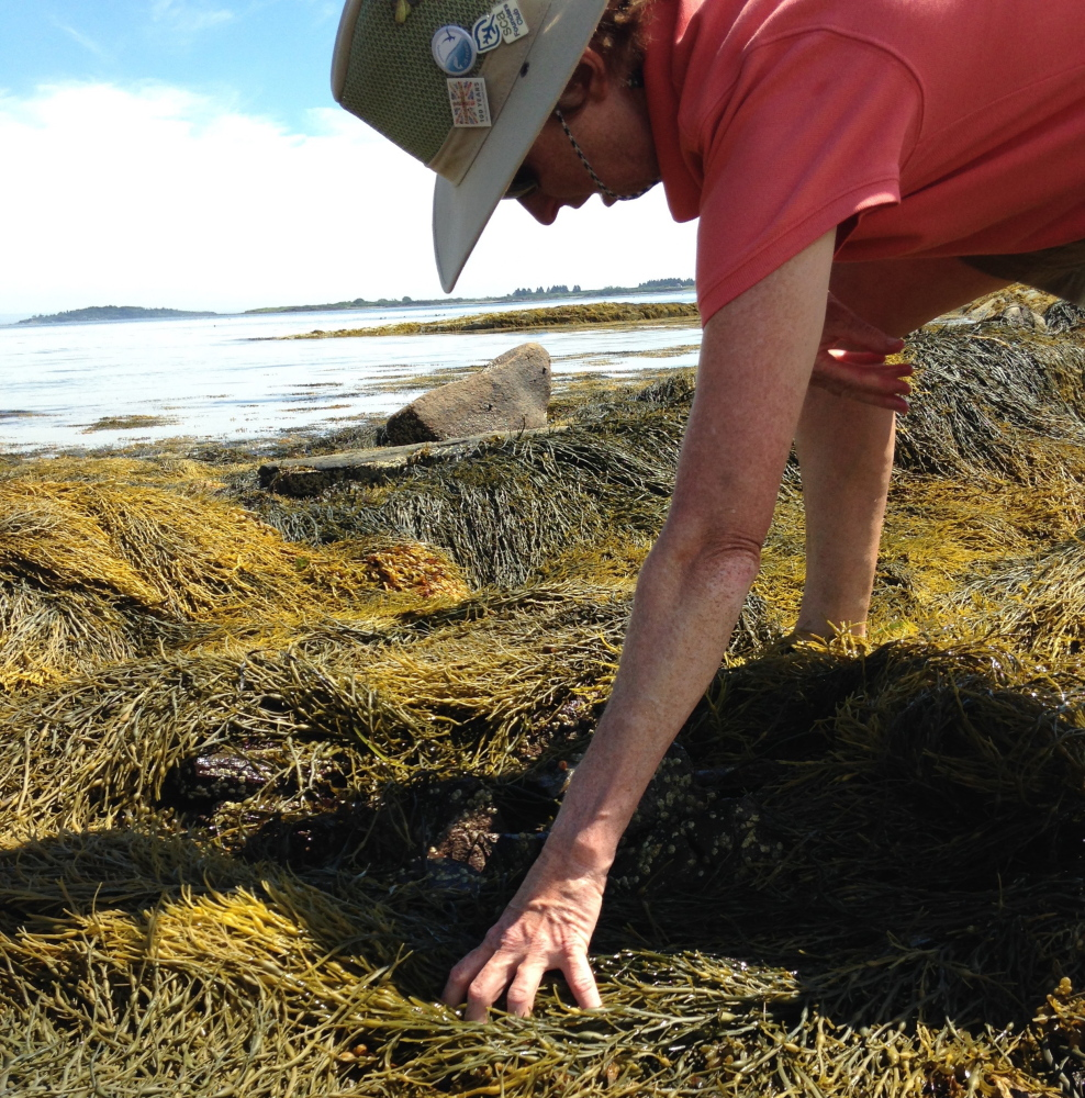 Ann Thayer searches for mussels along the shore of Bangs Island in Casco Bay. She found just two mussels in a recent survey.