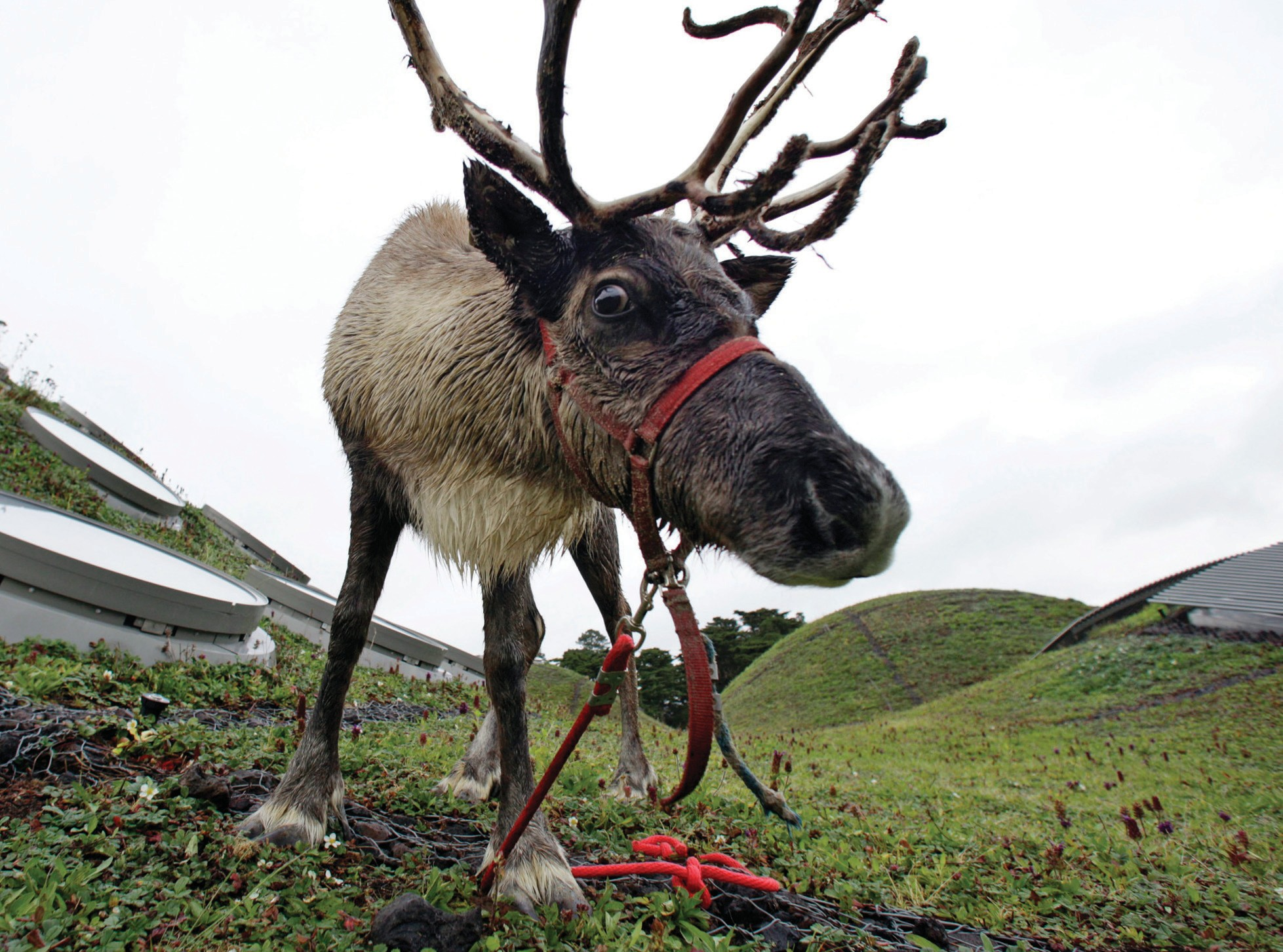 In this 2010 file photo, a reindeer grazes on the living roof of the California Academy of Sciences in San Francisco.
