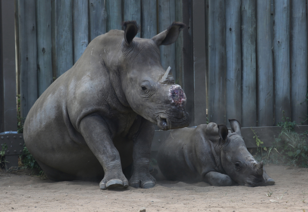 In this photo taken Monday, Feb. 15, 2016 a dehorned rhino and her baby in their corral at a rhino orphanage in the Hluhluwe-iMfolozi Game Reserve in the KwaZulu Natal province. Conservationists are operating anti-poaching drones in the park to help curb the slaughter of rhinos. (AP Photo/Denis Farrell)