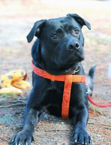 BRUNSWICK POLICE reported that Buddy was thrown against a wall multiple times. According to Coastal Humane Society staff, the black lab has recovered well at the Brunswick facility.