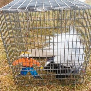 FLAT STANLEY helped Brunswick Animal Control Officer Heidi Nielsen relocate a skunk.