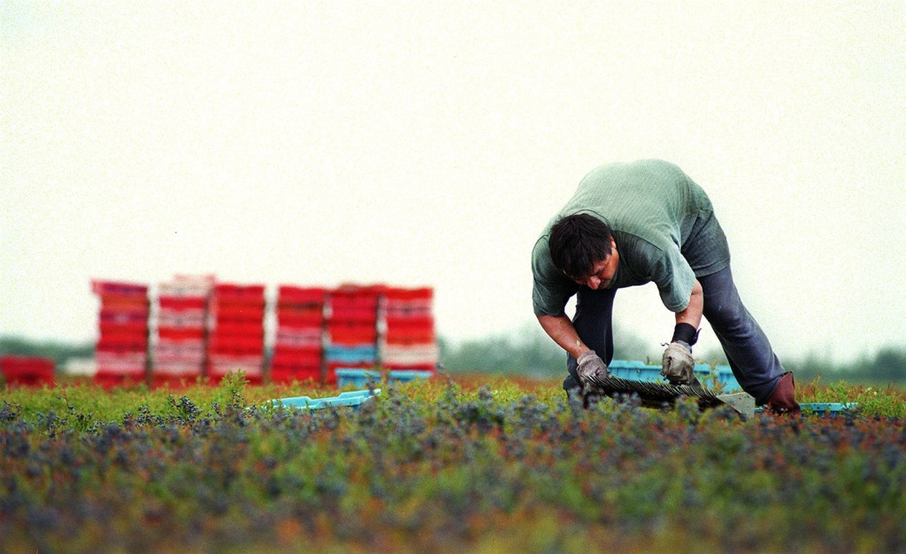 A blueberry worker passes his rake through the low bushes, gathering the fruit that is the agricultural staple of Washington County. The president of Wyman's of Maine says the bottom line is that expanding into Canada was a smart business decision for the family-owned company.