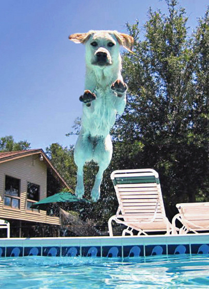 Judi Dunn's Labrador retriever Shayna jumps into the family pool at their home in Holiday, Fla. Leaping dogs often come up injured, insurers say.      The Associated Press