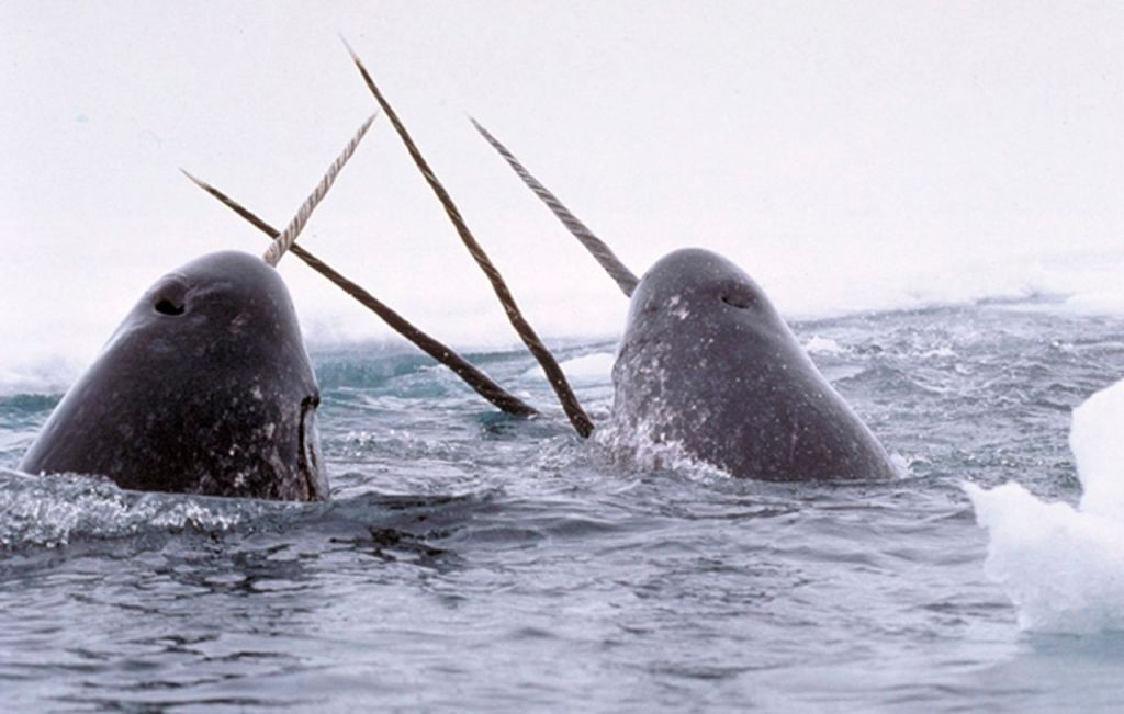 "Narwhals ""tusking,"" in a photo by Glenn Williams of Canada's National Institute of Standards and Technology, via Wikipedia. Narwhals' spiral tusks can grow longer than 8 feet, and like elephant tusks are valued for their use in carvings and jewelry-making."