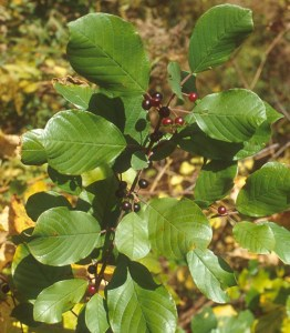 Common Buckthorn