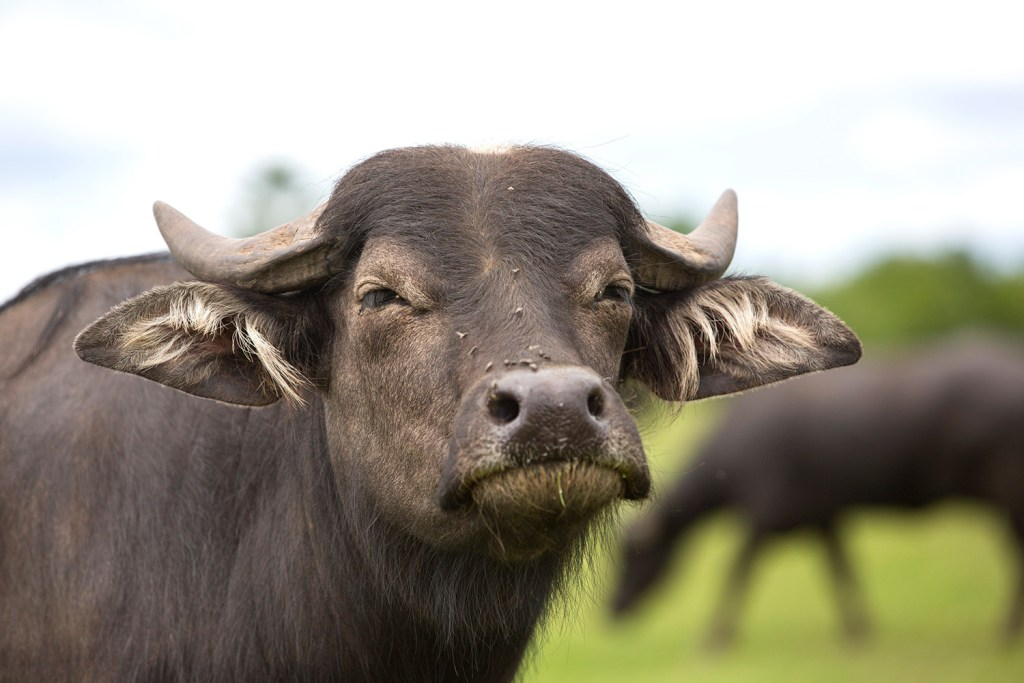 Maine farmers make a splash with water buffalo - Portland